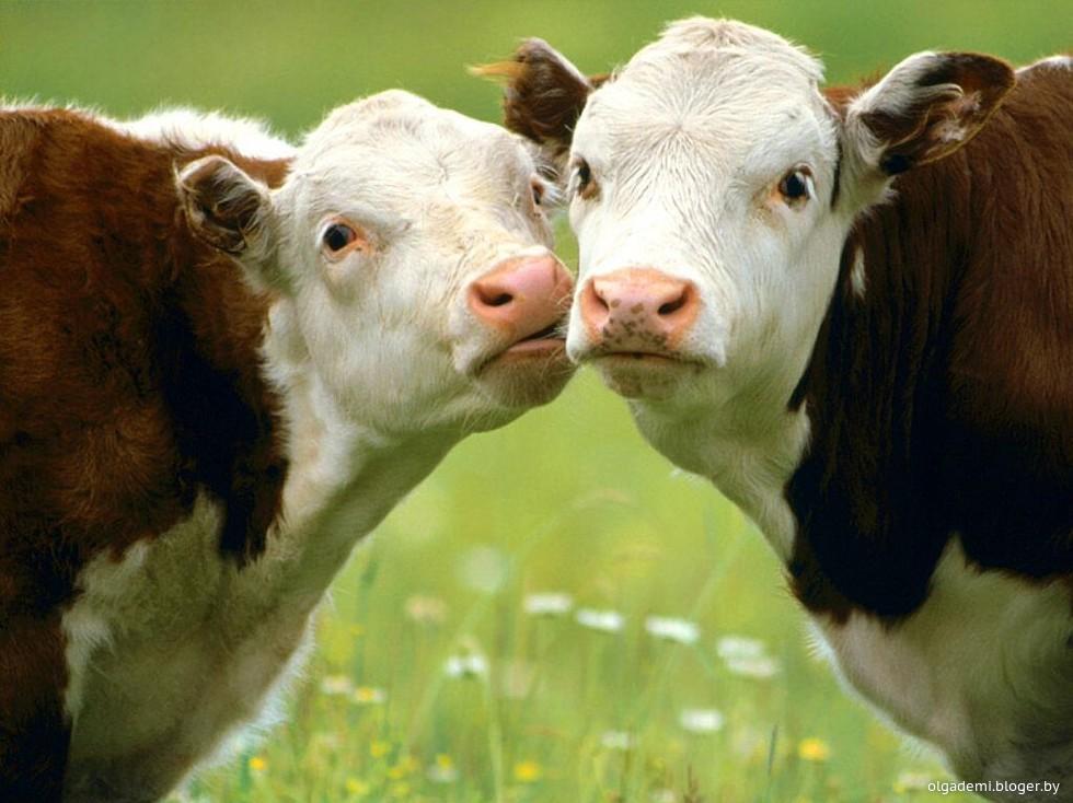 Коровы трахаются