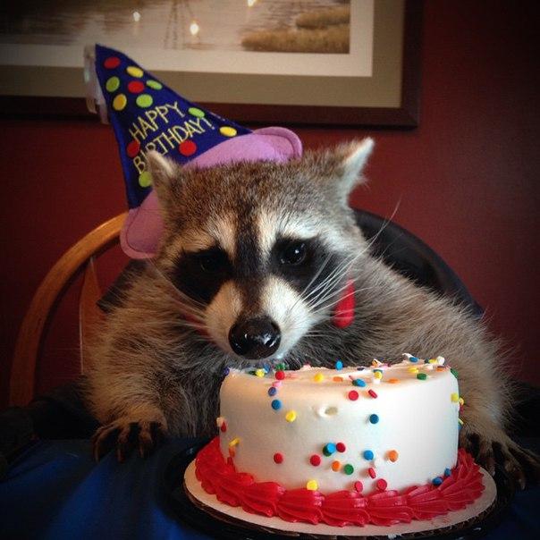 Открытки с енотом с днем рождения
